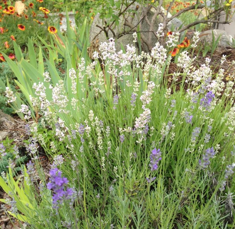2 lavenders crop