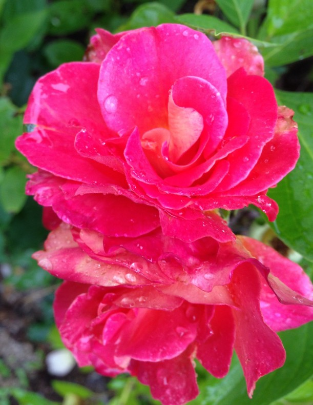 another rose rain