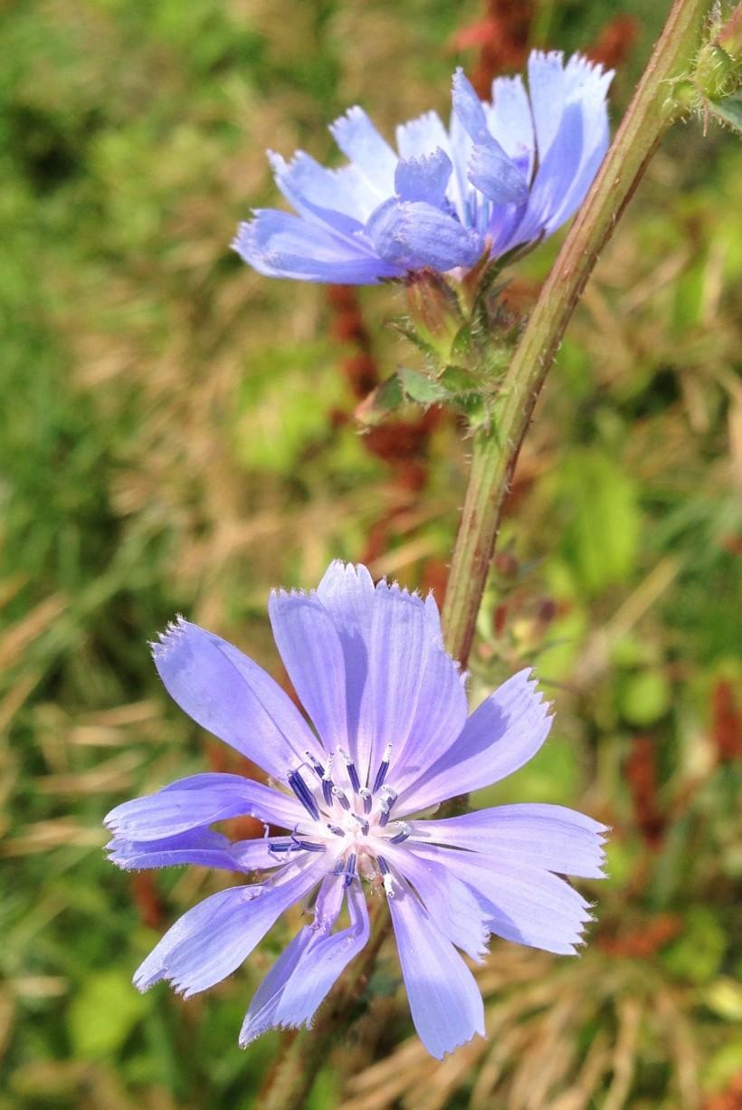Chicory2