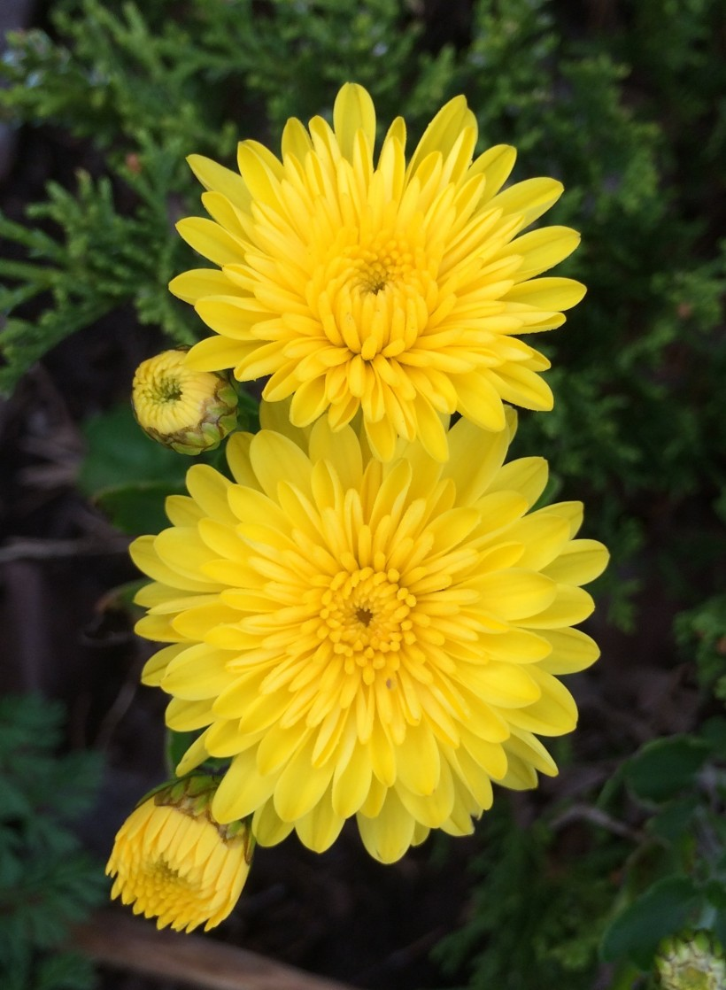 yellow mum 10-2