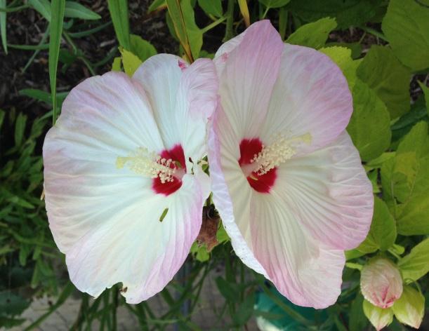 double hisbiscus