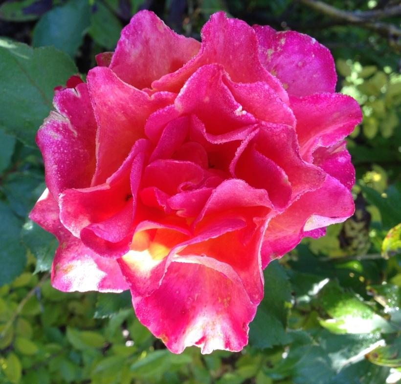 red rose 9-33