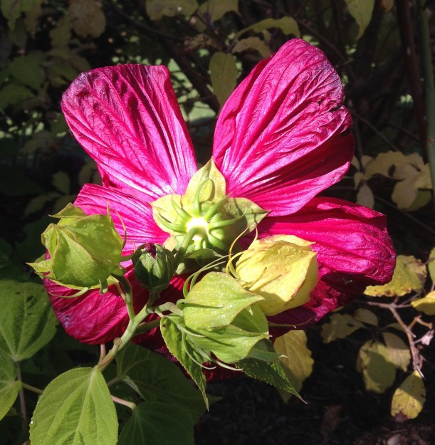 back red hibiscus