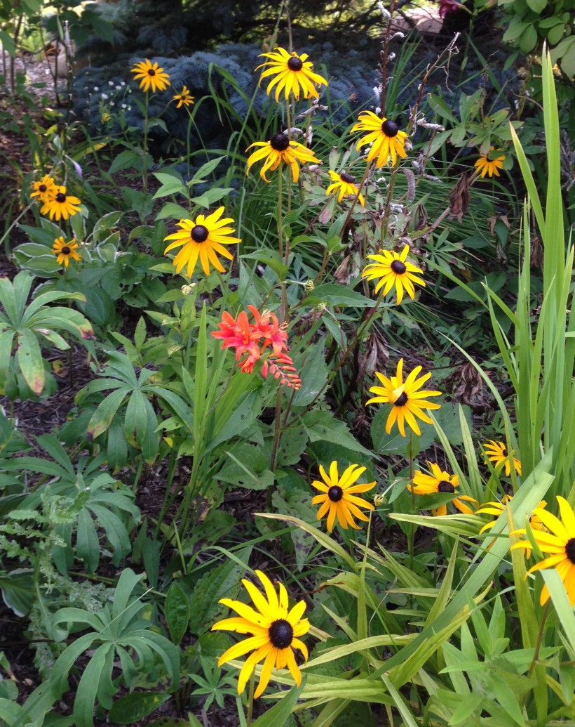 crocosmia black eyed susans