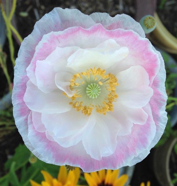 poppy 8-234