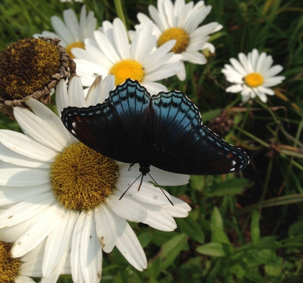 black blue butterfly