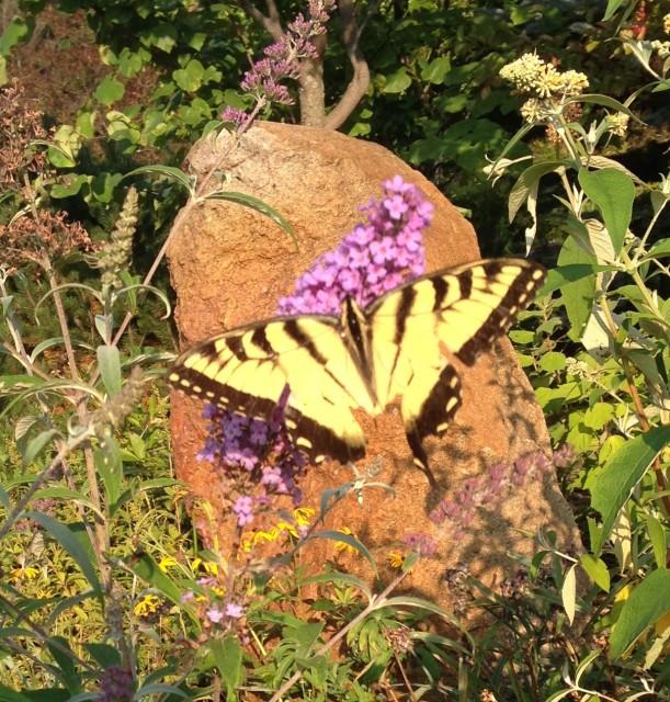butterfly purple butterfly2