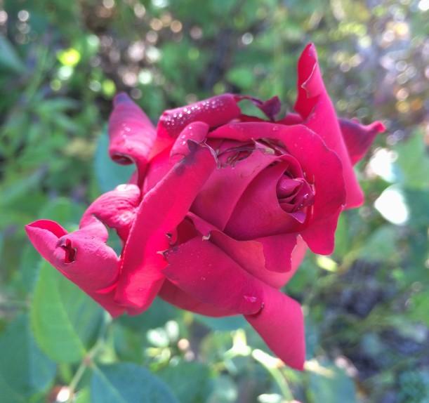 crazy rose