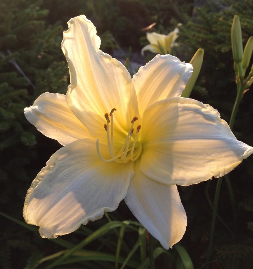 cream lily2