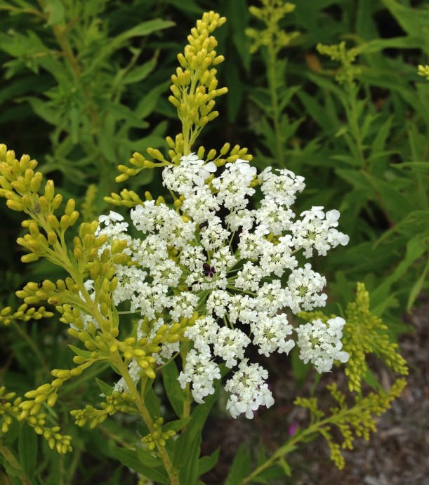 lace ragweed