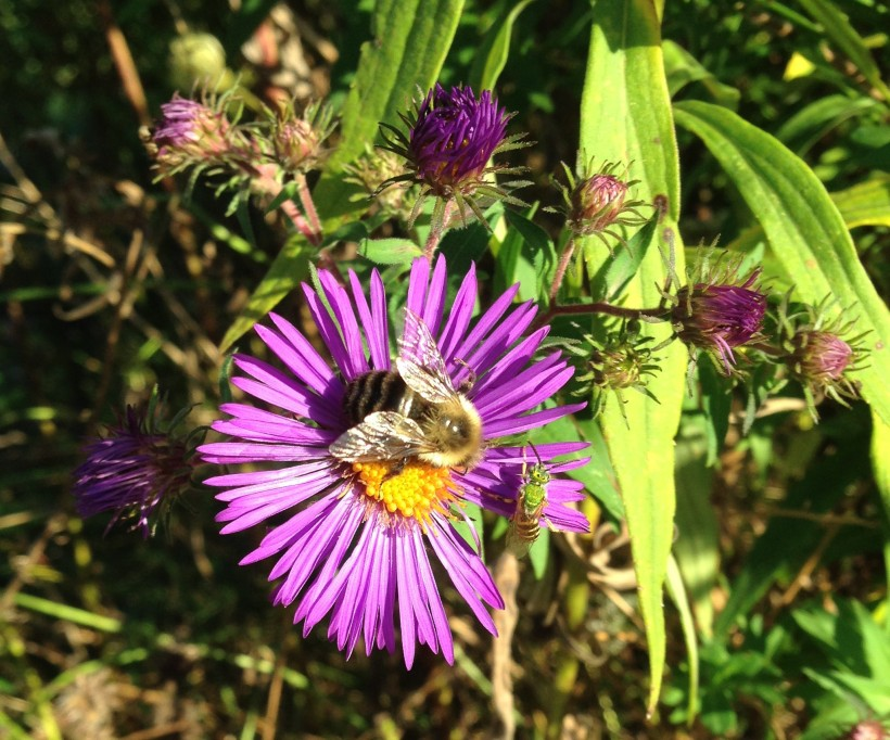aster bee2