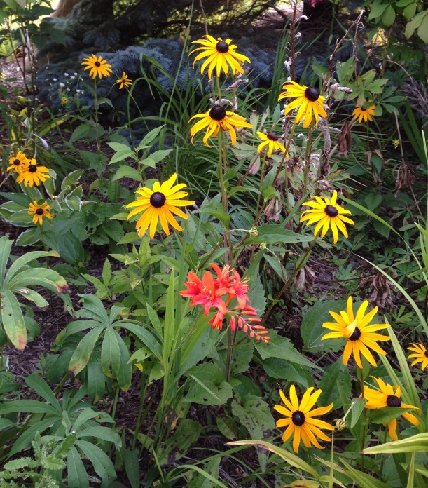 crocosmia black eyed susans2