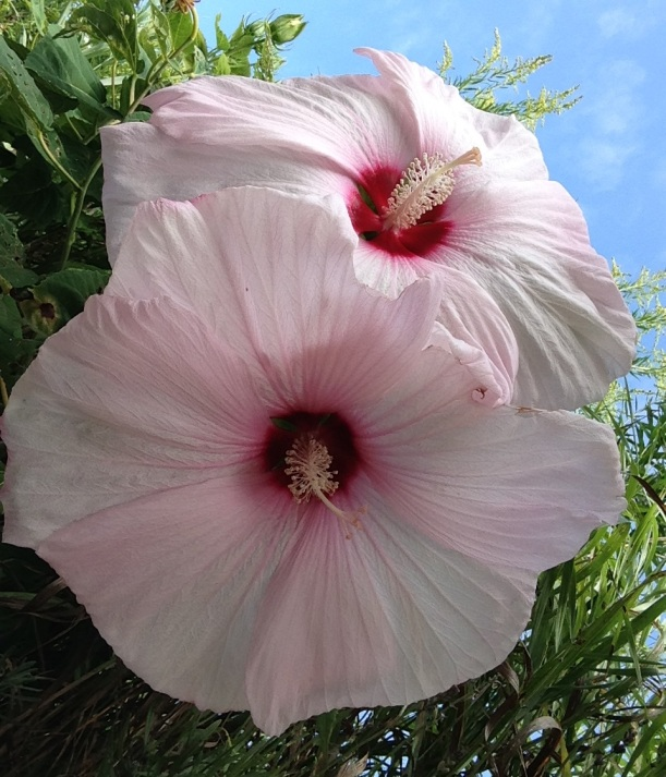 hibiscus laby