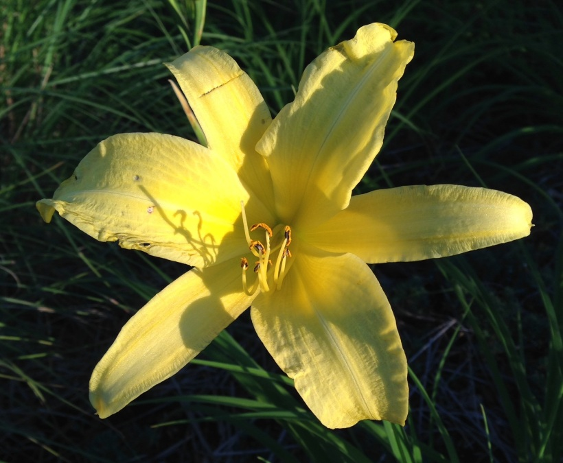 lemon yellow lily (2)
