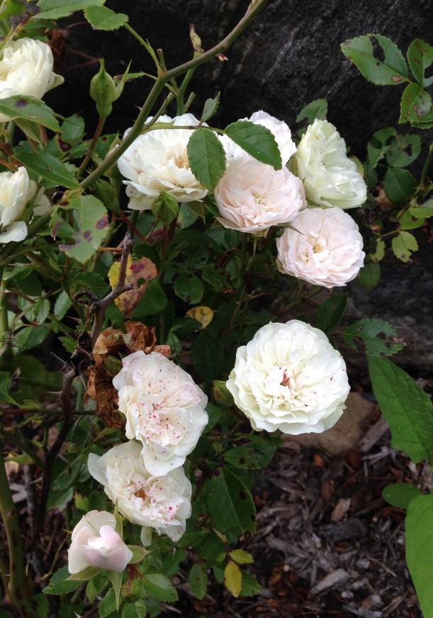 white rose5