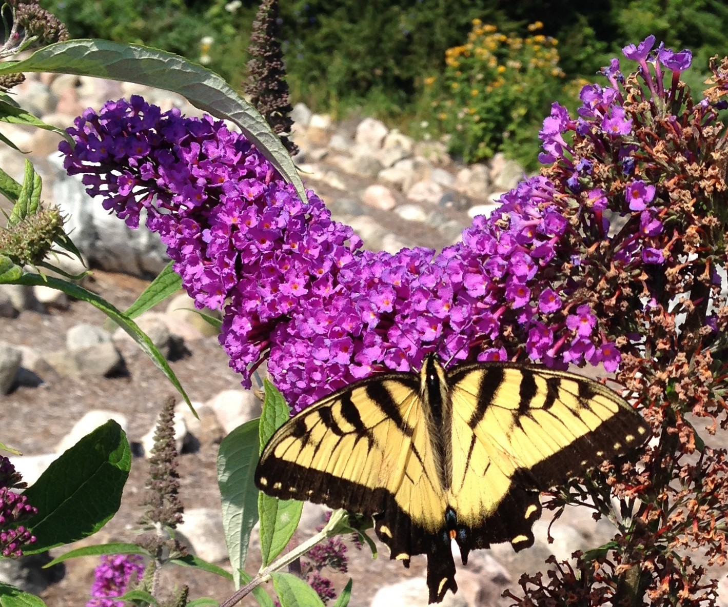 Day 134 Healing And The Butterfly With No Tail Victory Garden Day By Day