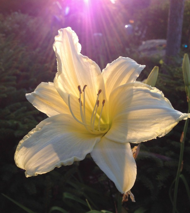 cream lily crop