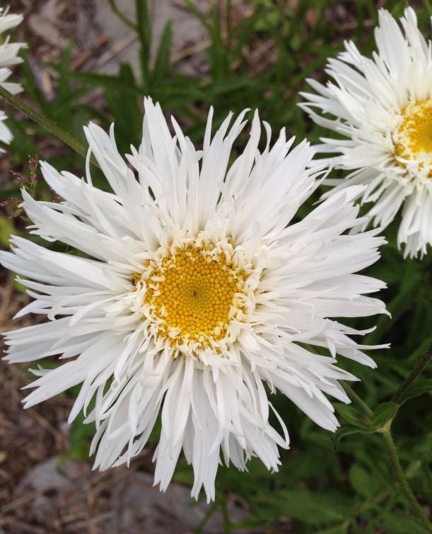 frilly daisy 2