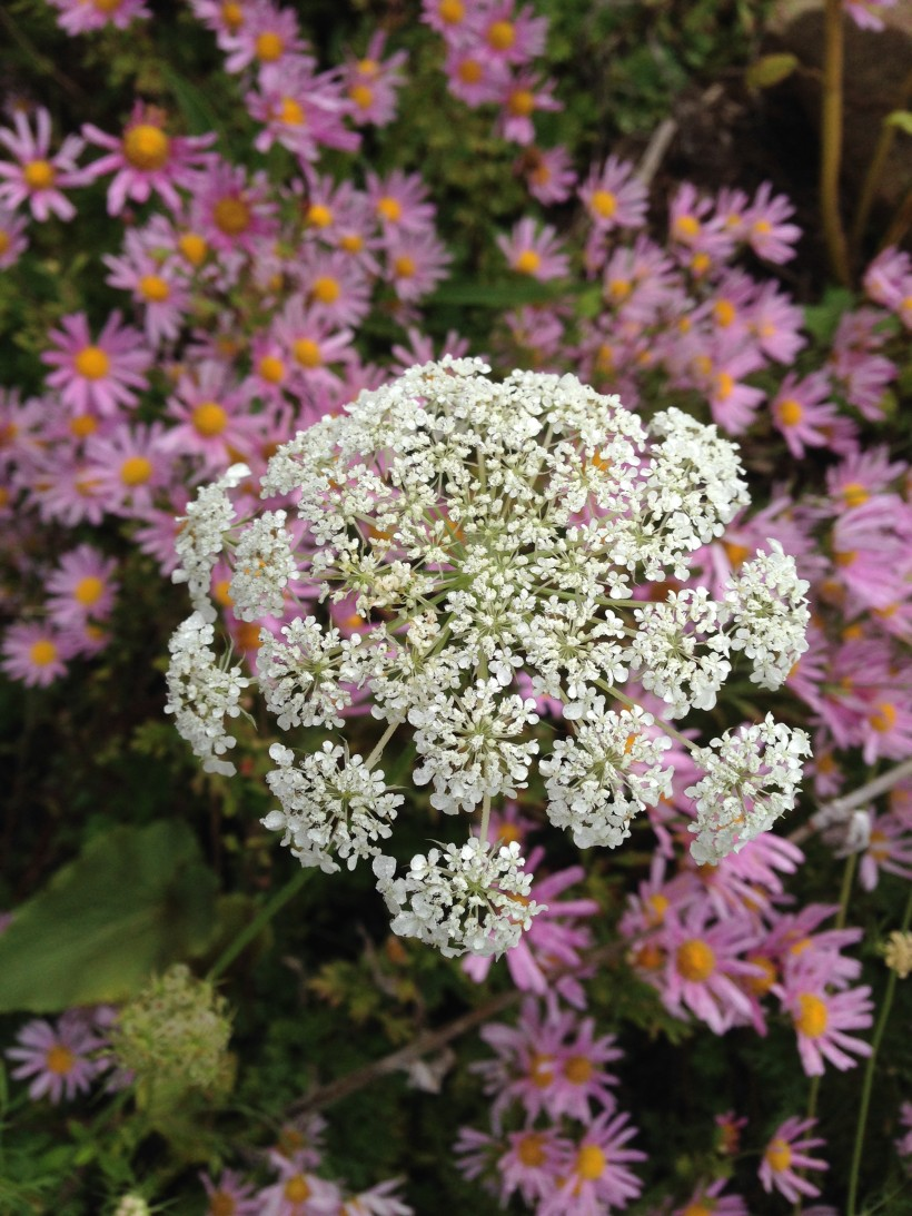 lace daisys