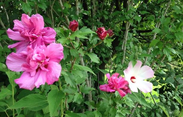 mallow rose7